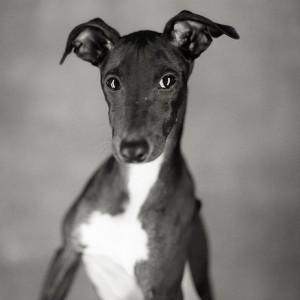 Grey Dog
