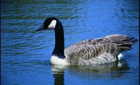 Canada goose in Iowa