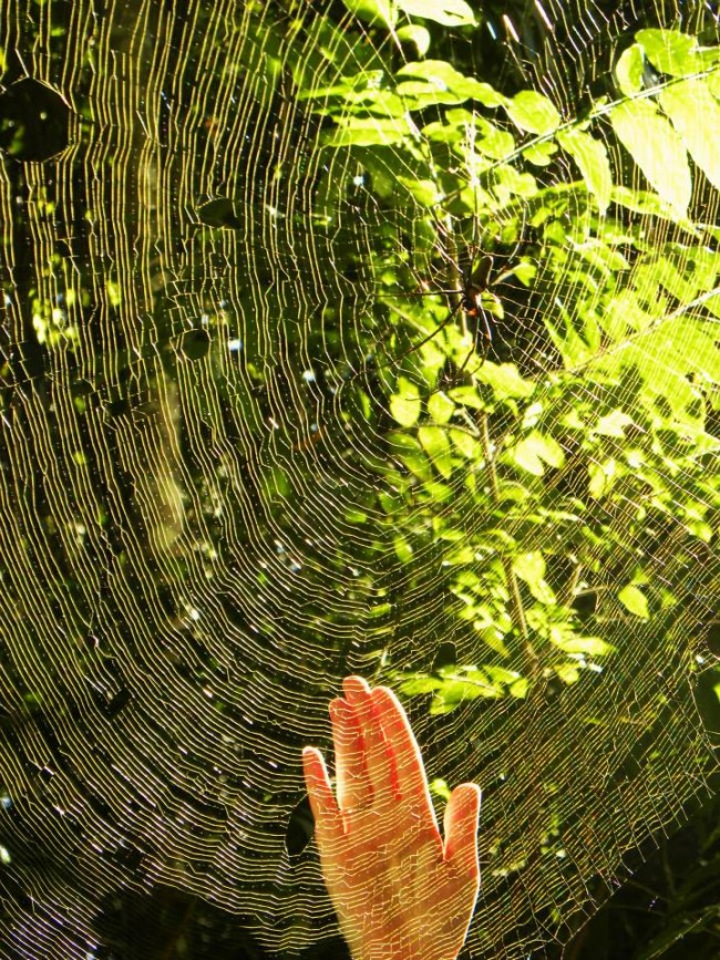 Up close and personal with a Golden Orb spider!