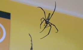 A Golden Orb spider