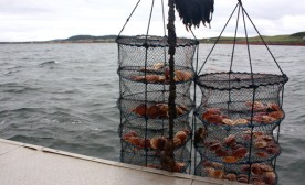 Sea farmers in Ilse de la Madeleine, Quebec are experimenting with farming scallops, a more sustainable practice than fishing wild stocks.