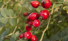 The Wonders of Rose Hips