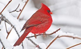 How to Capture a Northern Cardinal
