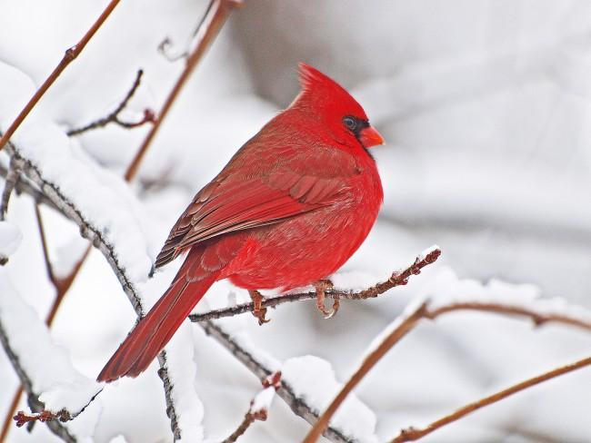 Northern Cardinal - High Park