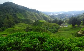 Cameron Hills:  If You Love Tea, Then …