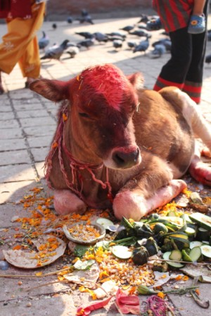 A cow casually receives blessings during Tihar, festival of the lights.