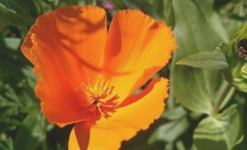 Falling in Love with California Poppies