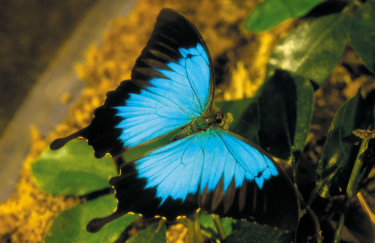 Ulysses Butterfly Seeing the Forest and ...