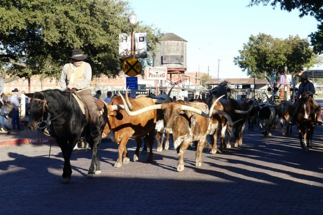 Longhorn cattle drive - twice a day