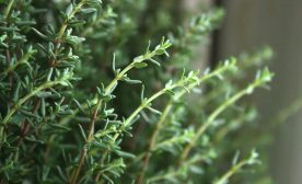 Thyme for Health
