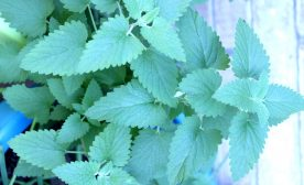 Catnip: It's Not Just for Cats