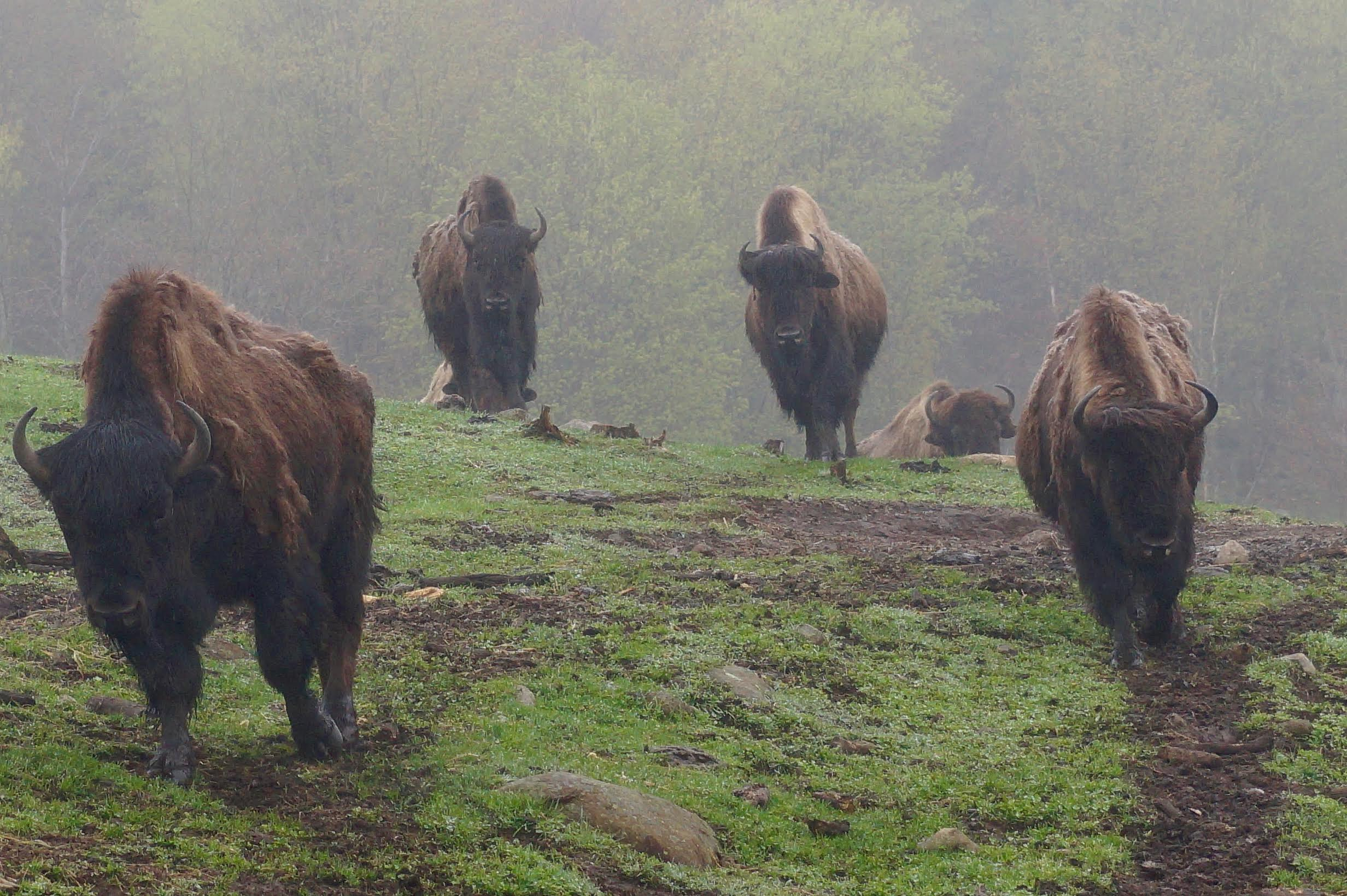 life as a human u2013 how an massive and threatened mammal found its