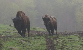 Buffalo in the Mist