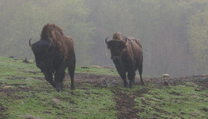 Kanatha-Aki's threatened wood bison