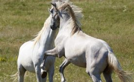 Riding the White Stallions