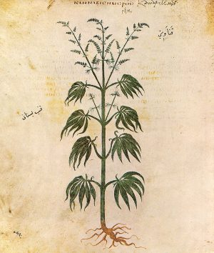 Cannabis Sativa - Illustration from the Vienna Dioscurides circa 512 AD