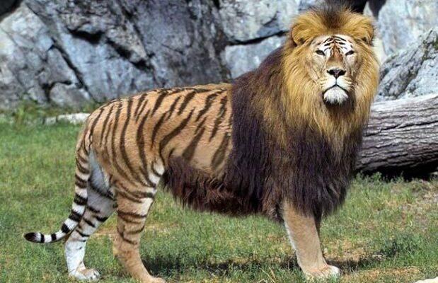 Lion / Tiger Hybrid (Liger)